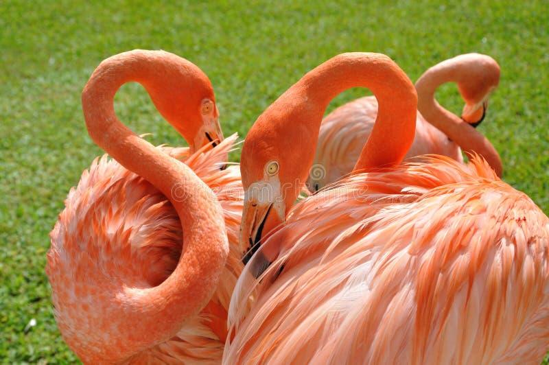 Roze Flamingo's stock foto