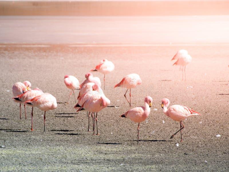 Roze flamingo's bij zout meer Laguna Hedionda, Andesaltiplano, Bolivië, Zuid-Amerika stock afbeeldingen