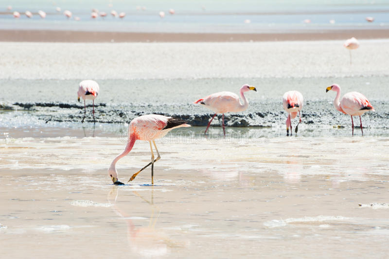 Roze flamingo's in de lagune op het plateau Altiplano, Bolivië stock foto