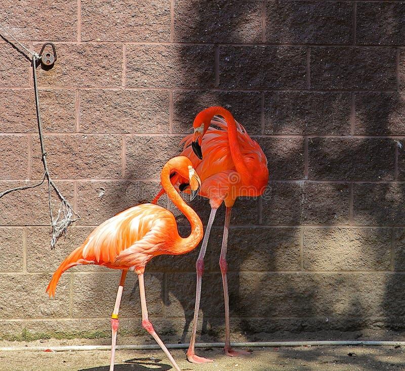 Roze Flamingo's die de liefde voelen stock afbeeldingen