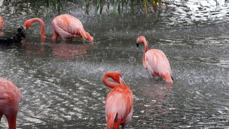 Roze Flamingo's die een Douche nemen stock foto's