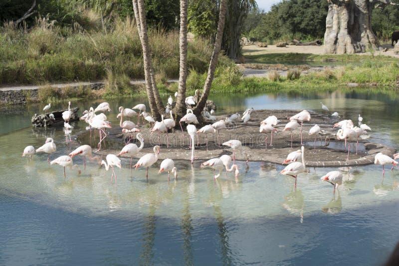 Roze flamingo's in Disney, Dierenrijkpark royalty-vrije stock foto