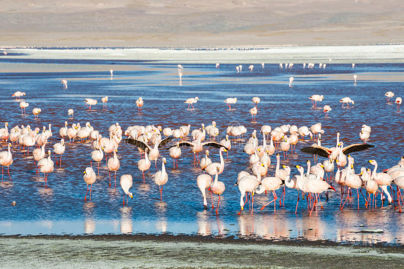 Roze flamingo's in Laguna Colorada, Bolivië stock foto's