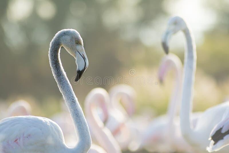 Roze flamingo's met in bewijsmateriaal en aardige bokeh royalty-vrije stock foto's