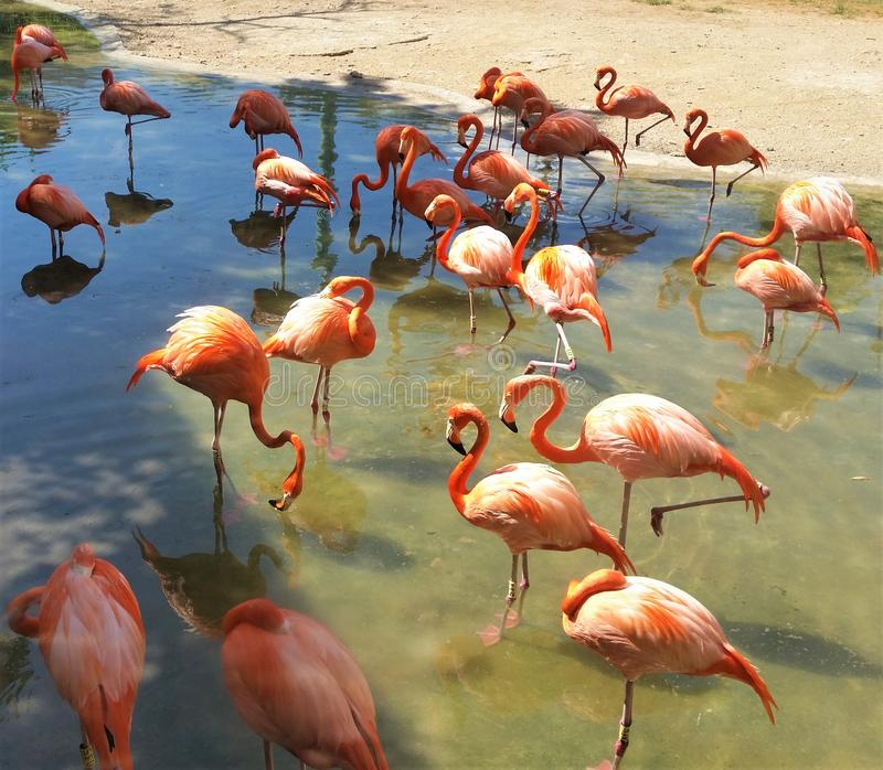 Roze Flamingo's in Mexico royalty-vrije stock foto