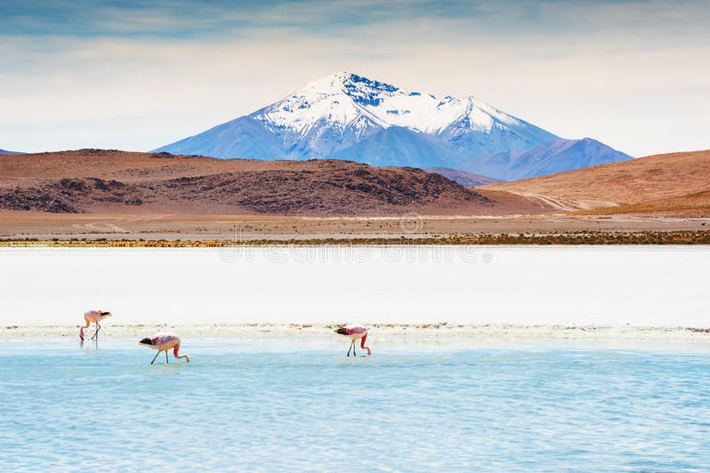 Roze flamingo's op de lagune, Altiplano, Bolivië royalty-vrije stock fotografie