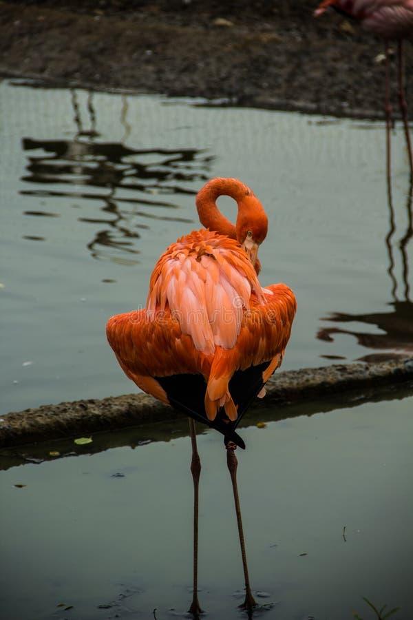 Roze flamingo's op het meer royalty-vrije stock foto's