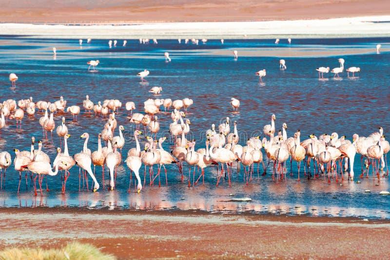 Roze flamingo's op Laguna Colorada, Altiplano, Bolivi? stock afbeelding