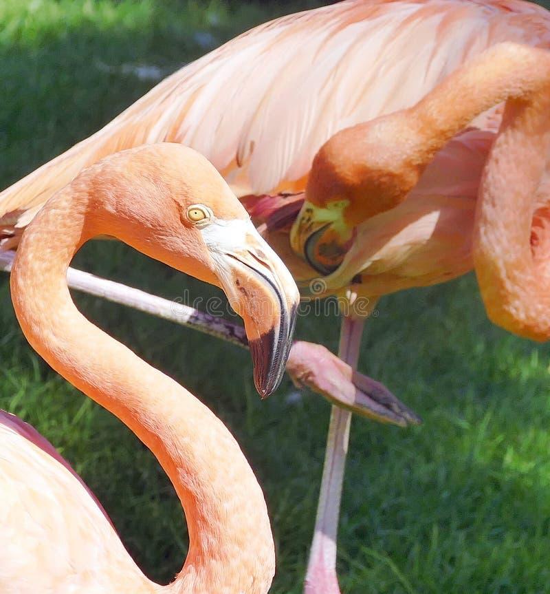 Roze Flamingo's Phoenicopterus Ruber II stock afbeeldingen