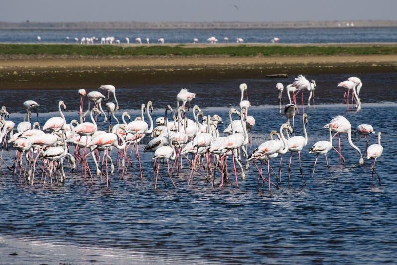 Roze Flamingo's, Phoenicopterus-ruberroseus in Walvis-Baai, Namibië stock foto