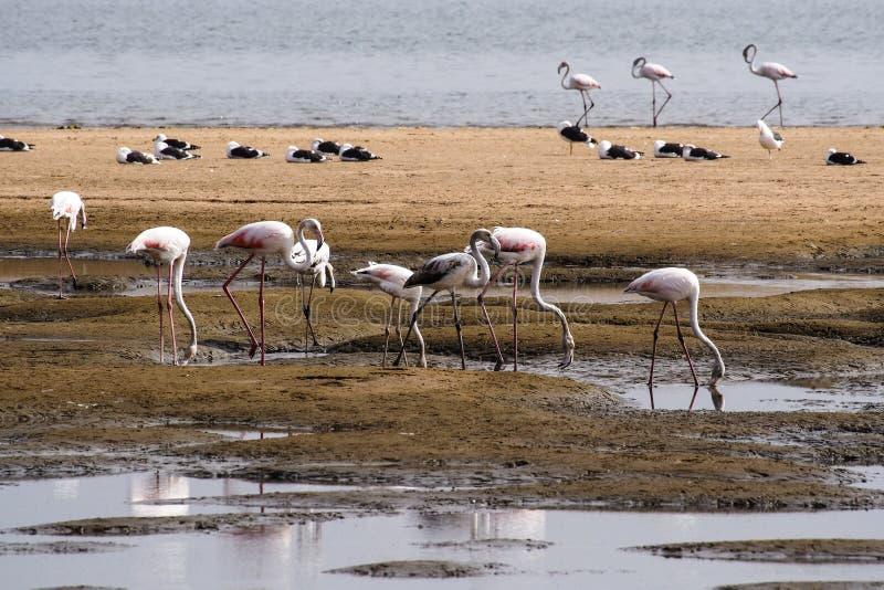 Roze Flamingo's, Phoenicopterus-ruberroseus in Walvis-Baai, Namibi? royalty-vrije stock foto's