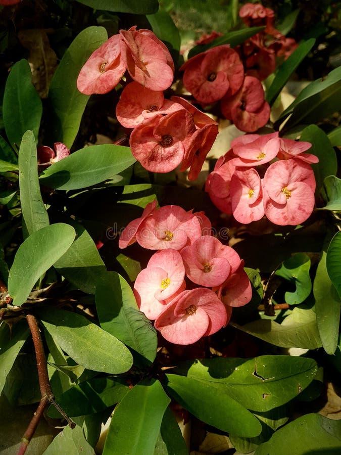 Roze flowe stock fotografie