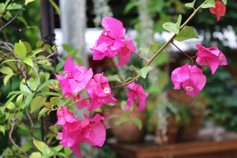 Roze Flowersp royalty-vrije stock fotografie