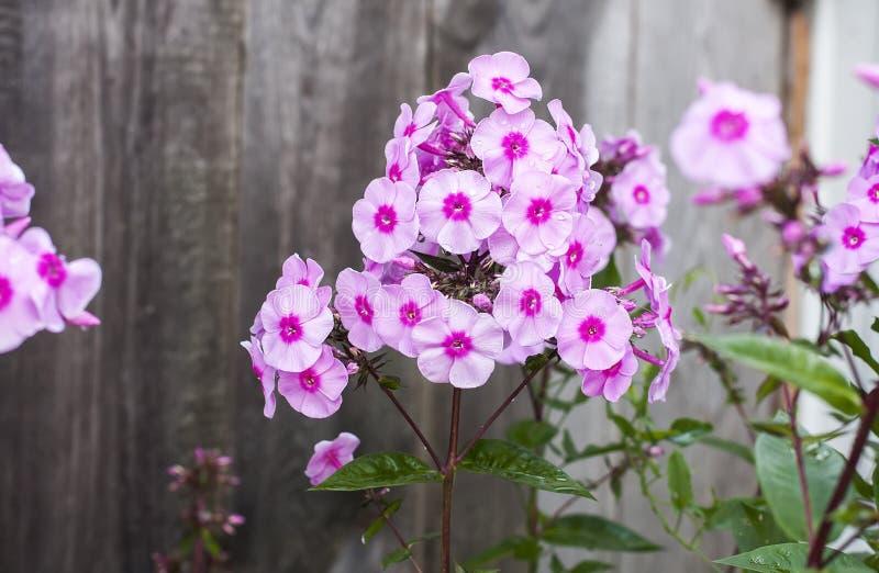 Roze floxbloem stock afbeeldingen