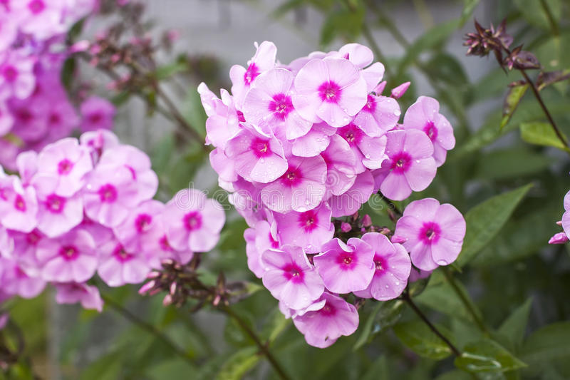Roze floxbloem stock foto's