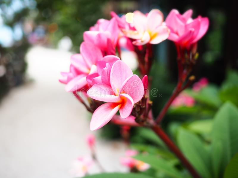 Roze Frangipani-bloemen op boom in de tuin royalty-vrije stock foto's
