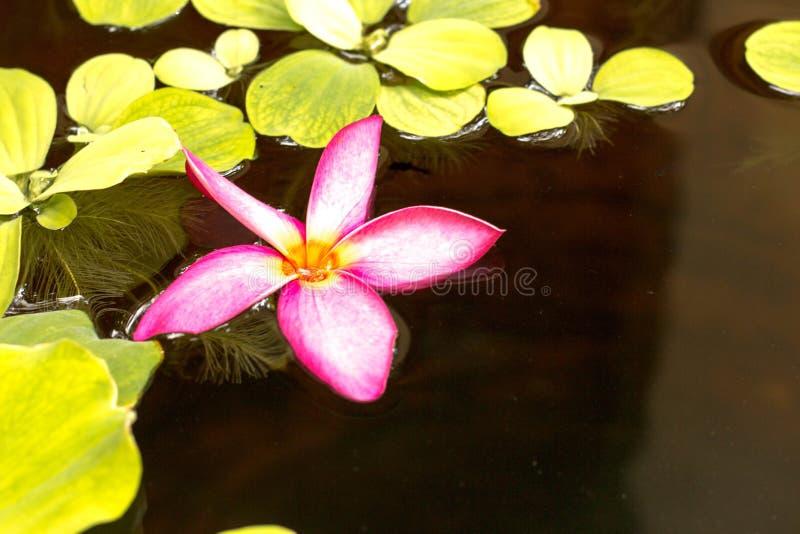Roze Frangipani in het water, in Bangkok royalty-vrije stock afbeelding