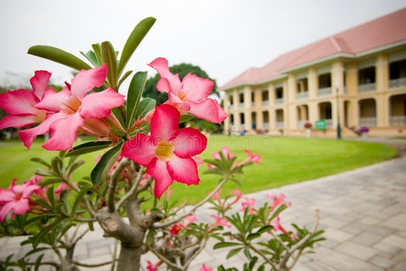 Roze Frangipani/Plumeria/Templetree-bloemen stock afbeelding