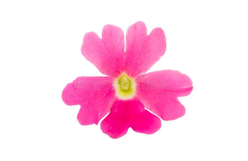 roze geïsoleerd ijzerkruid stock foto