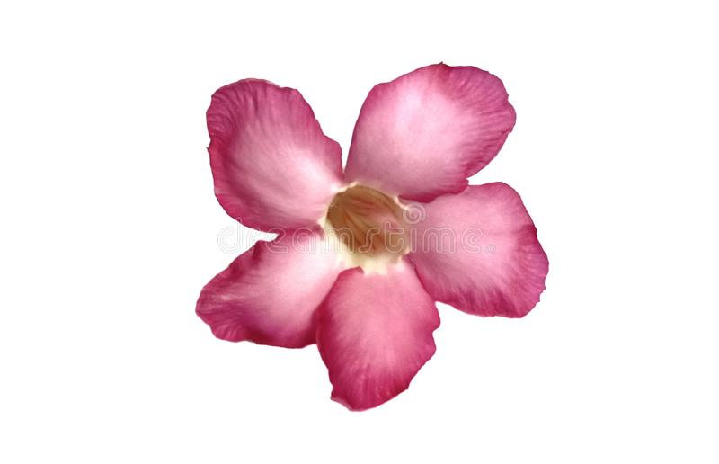 Roze geïsoleerde azaleabloemen royalty-vrije stock foto's