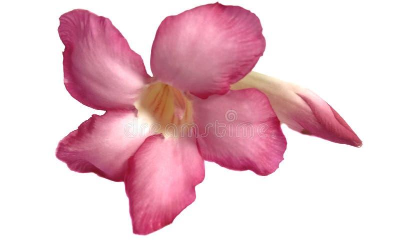 Roze geïsoleerde azaleabloemen royalty-vrije stock fotografie