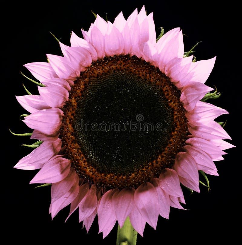Roze Geïsoleerde Zonnebloem royalty-vrije stock afbeelding