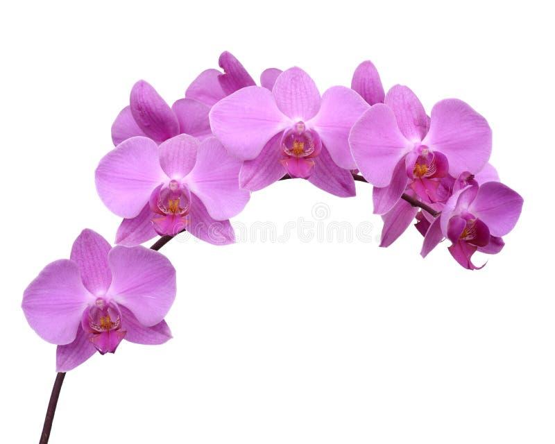Roze Geïsoleerden Orchidee stock fotografie