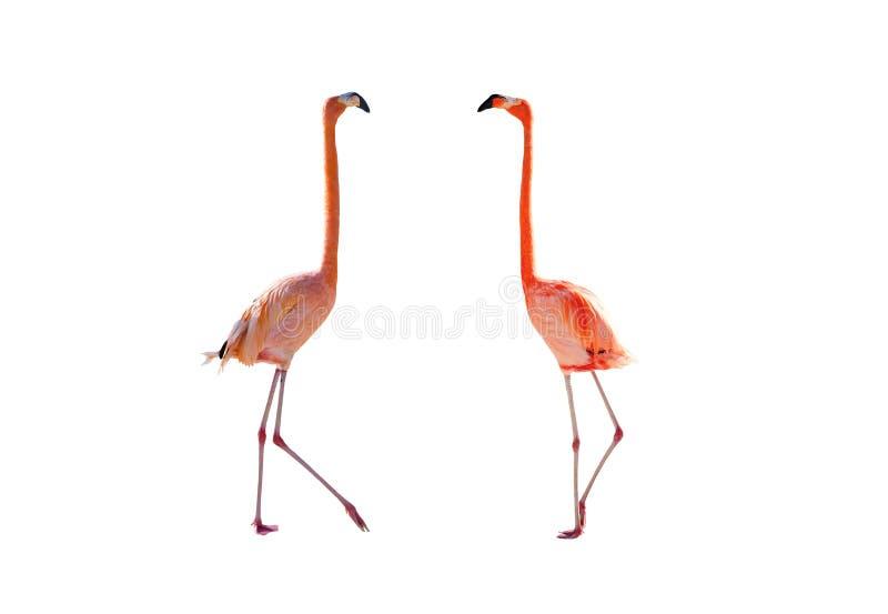 Roze geïsoleerdet Flamingo royalty-vrije stock afbeeldingen
