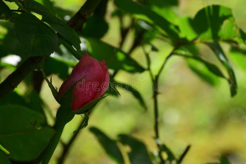 Roze gebaad in de dauw stock afbeelding