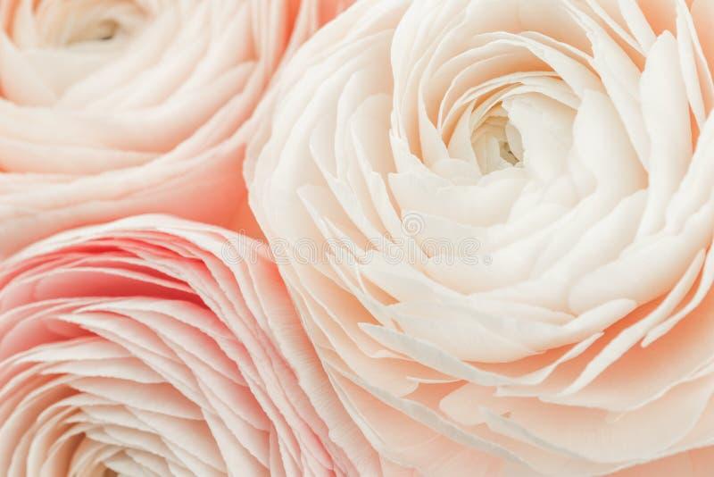 Roze gekleurde pioen of boterbloemen geïsoleerde bloem royalty-vrije stock afbeelding