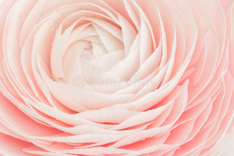 Roze gekleurde pioen of boterbloemen geïsoleerde bloem stock afbeelding