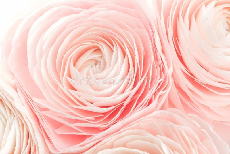 Roze gekleurde pioen of boterbloemen ge?soleerde bloem royalty-vrije stock foto