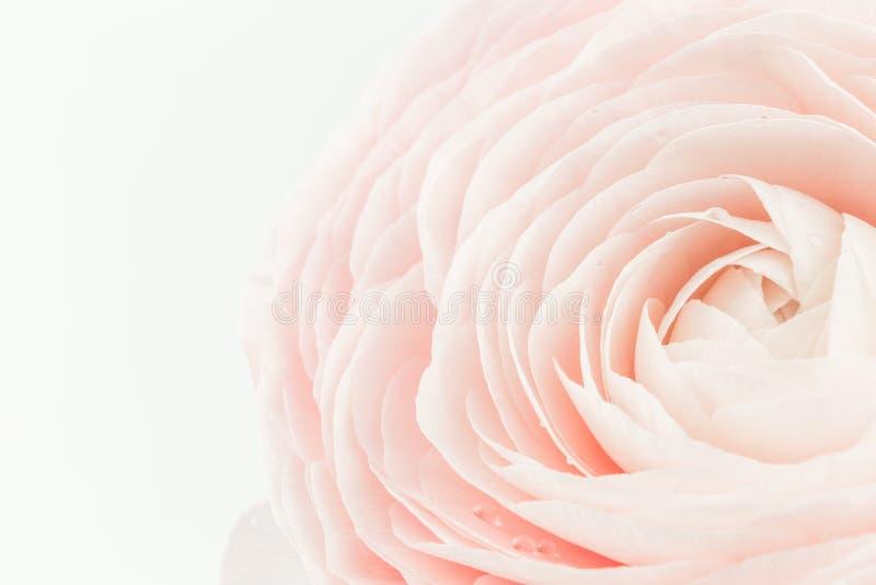 Roze gekleurde pioen of boterbloemen ge?soleerde bloem stock afbeelding