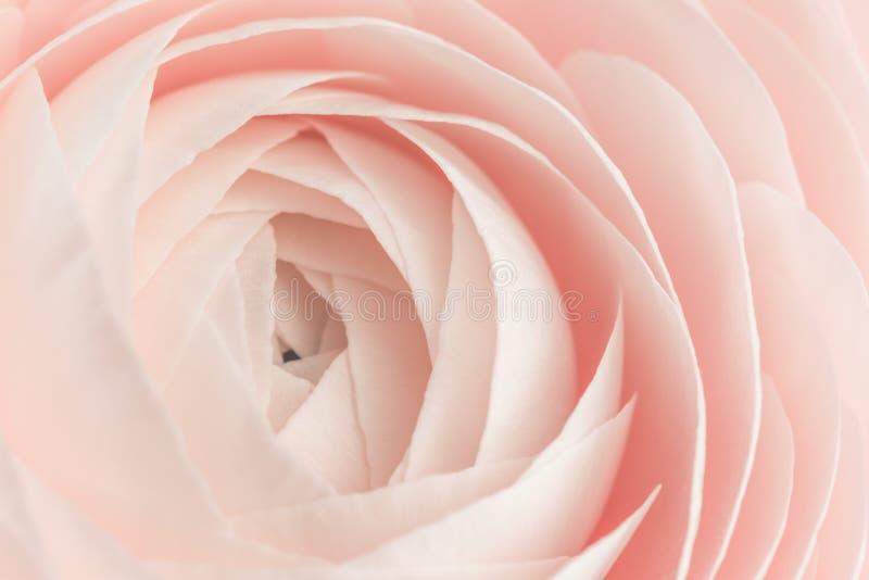 Roze gekleurde pioen of boterbloemenbloemachtergrond royalty-vrije stock afbeeldingen