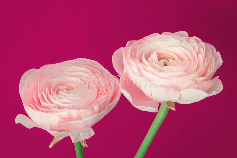 Roze gekleurde pioen of boterbloemenbloemen royalty-vrije stock foto