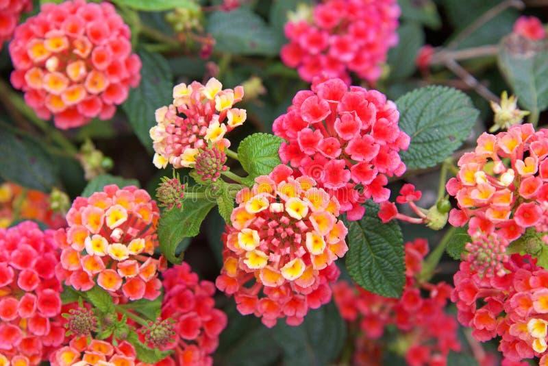 Roze gele en oranje bloesems op kleine lantanabloemen royalty-vrije stock afbeelding