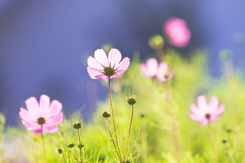 Roze gemeenschappelijke kosmosbloemen royalty-vrije stock foto