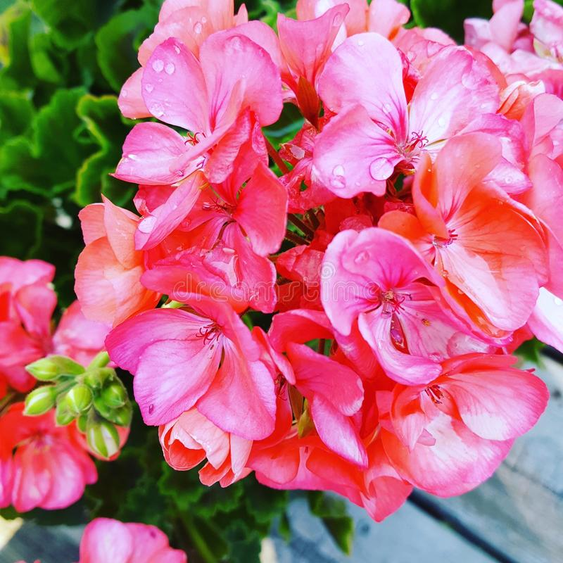 Roze geranium royalty-vrije stock afbeeldingen