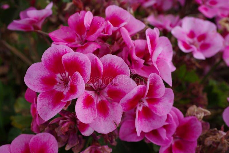 Roze geraniumbloem stock fotografie