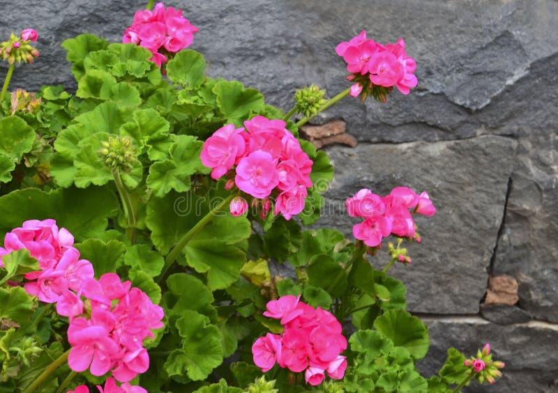 Roze geraniumbloemen in de zomertuin op een grijze achtergrond van de steenmuur Bloeiende ooievaarsbek stock afbeelding