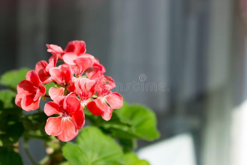 Roze geraniumbloemen met zonlicht op het venster Het boeket van de geraniumbloesem van bloemen royalty-vrije stock fotografie