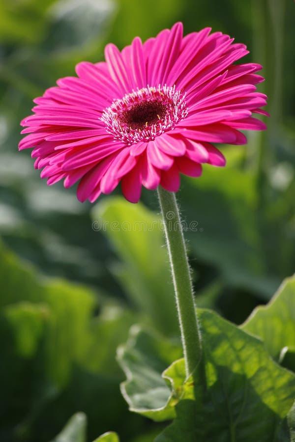 Roze gerber royalty-vrije stock fotografie