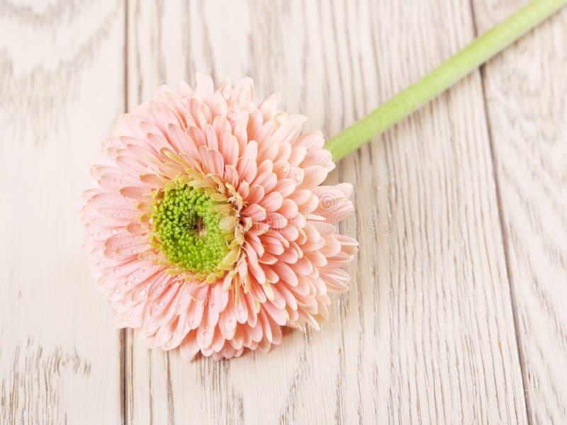Roze Gerbera Daisy stock foto