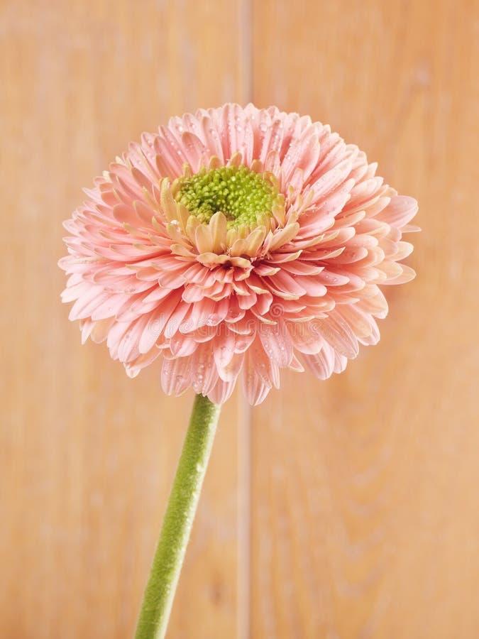 Roze Gerbera Daisy royalty-vrije stock foto