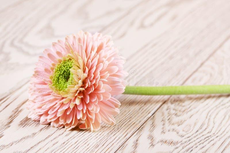 Roze Gerbera Daisy stock fotografie