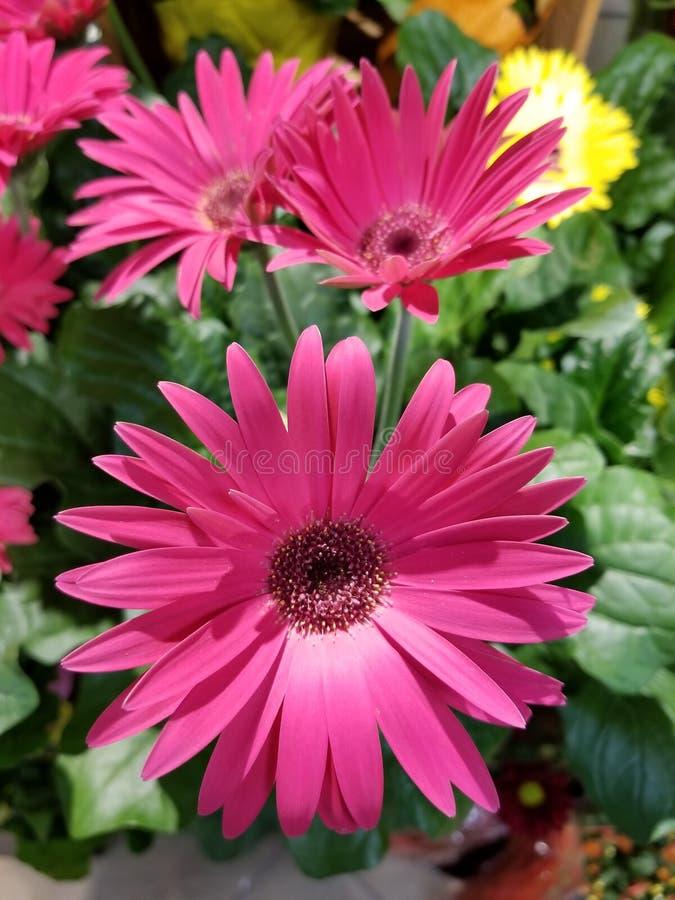 Roze Gerbera Daisy royalty-vrije stock afbeelding