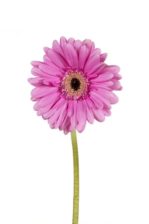 Roze gerbera op een witte achtergrond royalty-vrije stock foto's