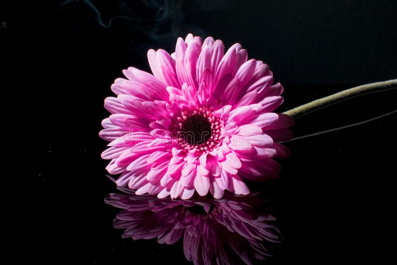 Roze gerbera op een zwarte achtergrond met waterdalingen royalty-vrije stock afbeelding