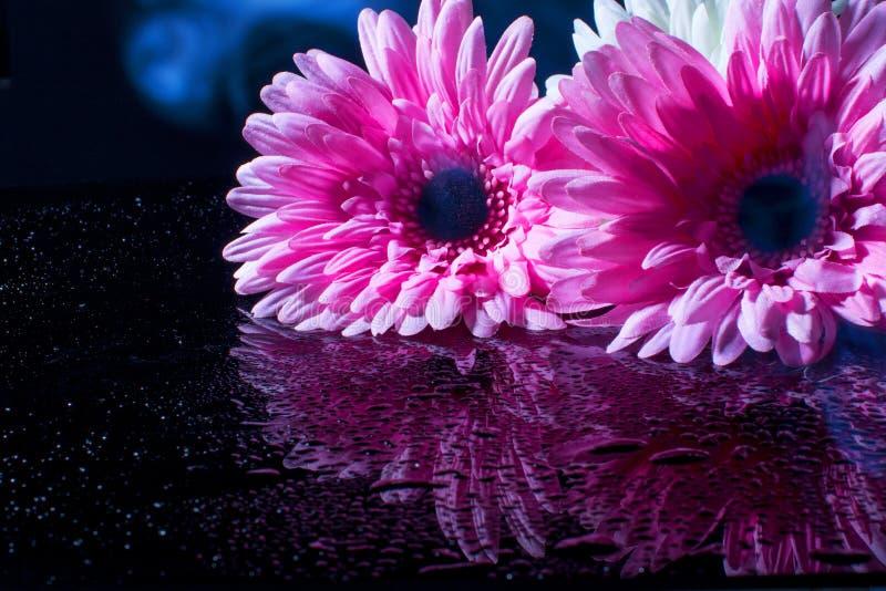 Roze gerbera op een zwarte achtergrond met waterdalingen royalty-vrije stock afbeeldingen