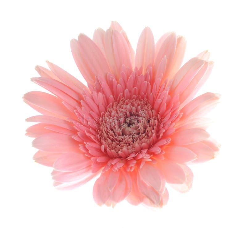 Roze gerberabloem royalty-vrije stock foto
